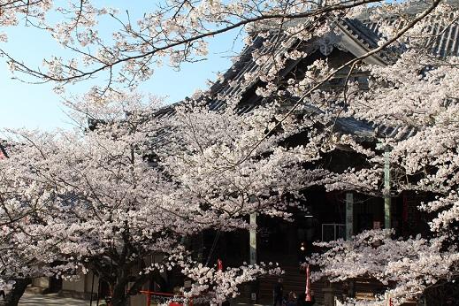 紀三井寺 桜31