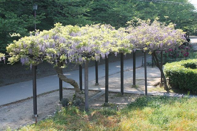 フジの花が見ごろを迎えました♪和歌山城♪tags[和歌山県]