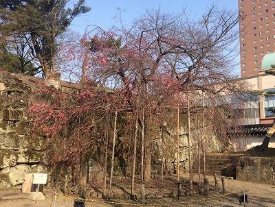 枝垂れ桜3.1jpg